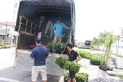 Thương lái thu mua cây công trình tại Làng Hoa Sa Đéc