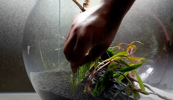 Planting Rotala Rotundifolia