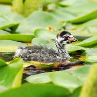Pied-grebe chick – Lake Washington, WA – June 27, 2010 – Minette Layne