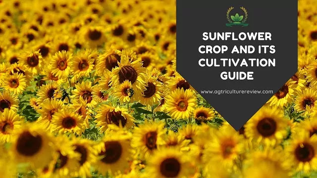 sunlight crop and its cultivation by agriculture review