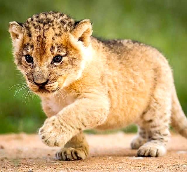 baby of a lion cub