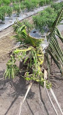 bibit kelapa kopyor keriting