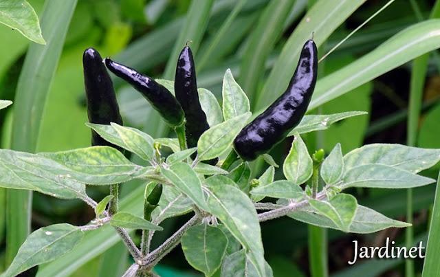 Pimenta Black Cobra