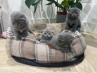 fold kittens for sale