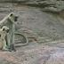 """Colocaram um macaco robô no grupo... O que acontece quando ele """"morre"""" deixou os cientistas surpresos!"""