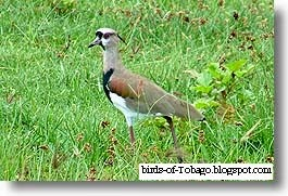 Southern Lapwing (Vanellus chilensis) Birds of Trinidad & Toabgo