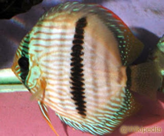 Spesies Ikan Discus S. discus