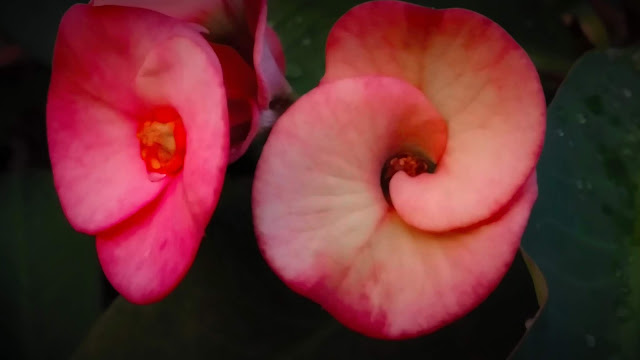 Beautiful Pink Flower Photography | From'S Photography | From'S Entertainment