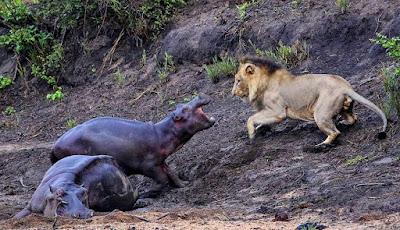 Kuda nil kecil melawan singa yang ingin memakan induknya