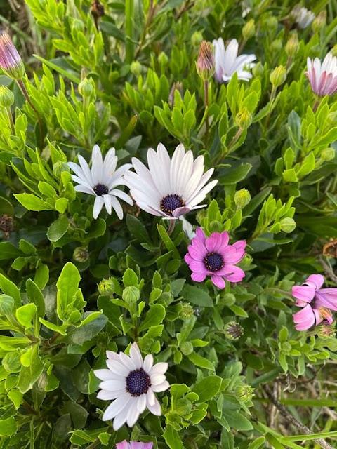 Margarida-do-cabo ou Margarida-Africana (Osteospermum ecklonis)