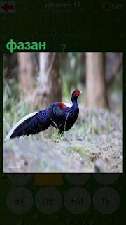 на земле стоит красивый синий фазан с красным хохолком