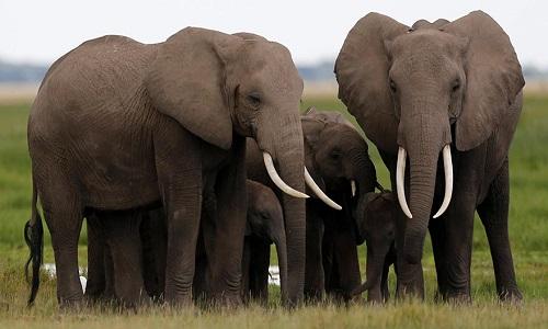 Fil Nasıl Bir Hayvan