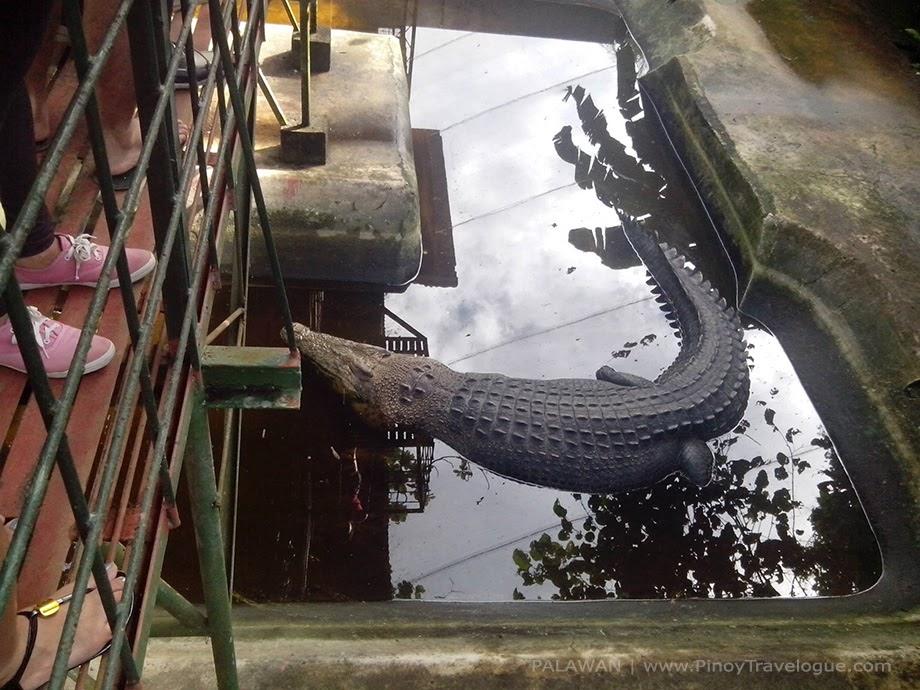 Mac-mac, Philippine's largest crocodile in captivity