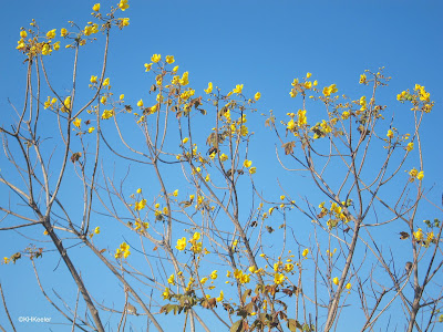 buttercup tree, Cochlospermum vitifolium