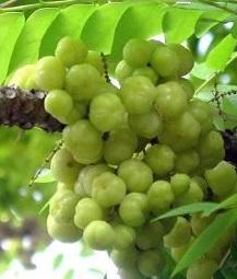 Manfaat Jus, Cuka Apel Hijau Untuk Kesehatan, Kecantikan