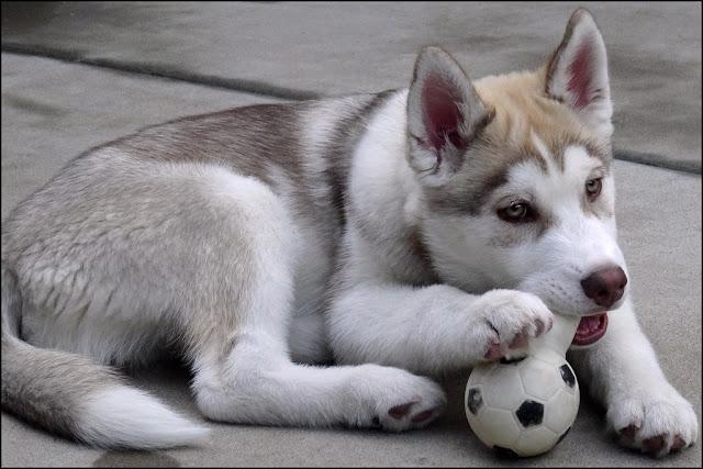 siberian husky siberian husky puppies husky husky dog husky puppies white husky white siberian husky siberian husky blue eyes siberian husky baby