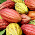 Agribusiness: Cross River govt targets 5,000mt of cocoa per annum