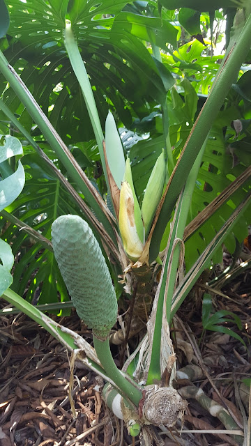 Fruiting spike of the Swiss Cheese plant - Monstera deliciosa