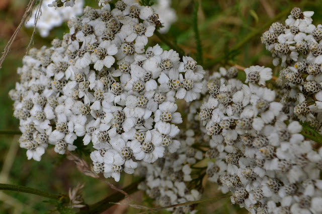 thick cluster of white flowers
