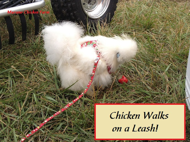 chicken leash, harness