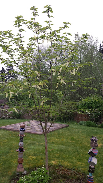 Young Davidii involucrata (dove tree or handkerchief tree) in bloom for the first time.