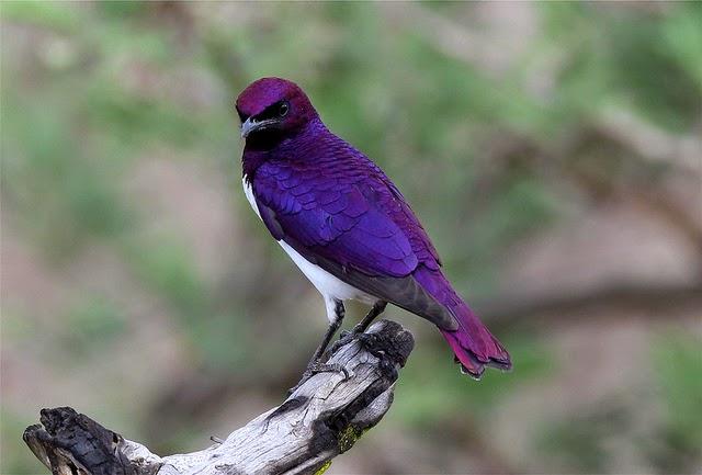 10 Striking Purple-colored Birds ~ Amazing Animals