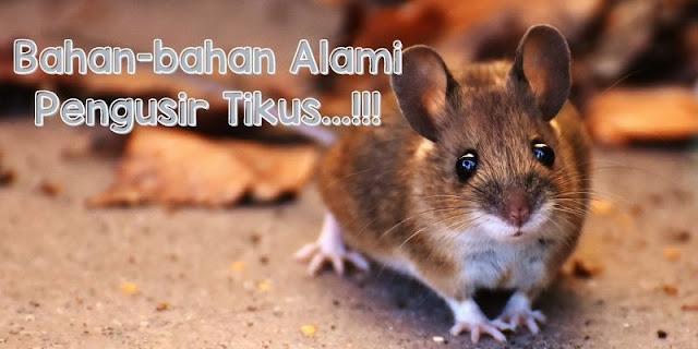 Bahan-bahan Alami yang Ampuh Mengusir Tikus di Rumah