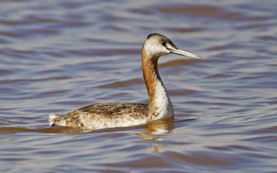 birds in Argentina Podiceps major