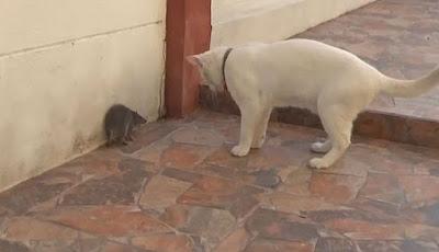 Tikus ketakutan melawan kucing