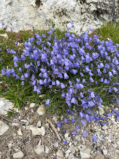[Campanulaceae] Campanula cochleariifolia – Earleaf Bellflower (Campanula con foglie di coclearia)