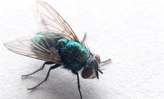 Επιστήμονες ανακάλυψαν γιατί η μύγα γλυτώνει πάντα τη μυγοσκοτώστρα