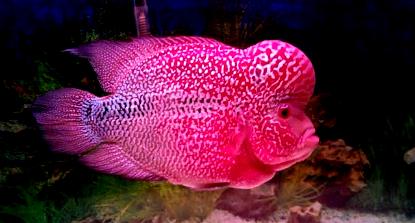 Karakteristik Dan Harga Ikan Louhan Cencu Blogikan Com