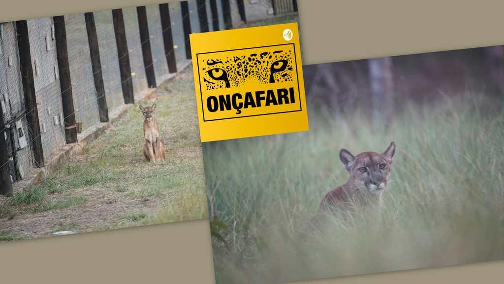 O Onçafari, criado para o estudo e conservação de onças-pintadas e lobos-guará, lança, em 04/11, sua campanha anual de crowdfunding