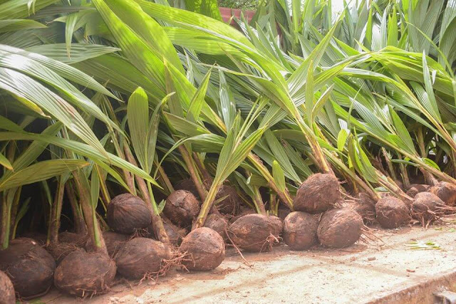 Kilifi county hybrid coconut seedlings distribution. FILE