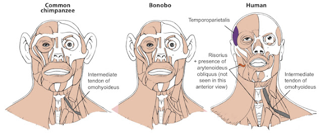 Study finds bonobos may be better representation of the last common ancestor with humans than common chimpanzees