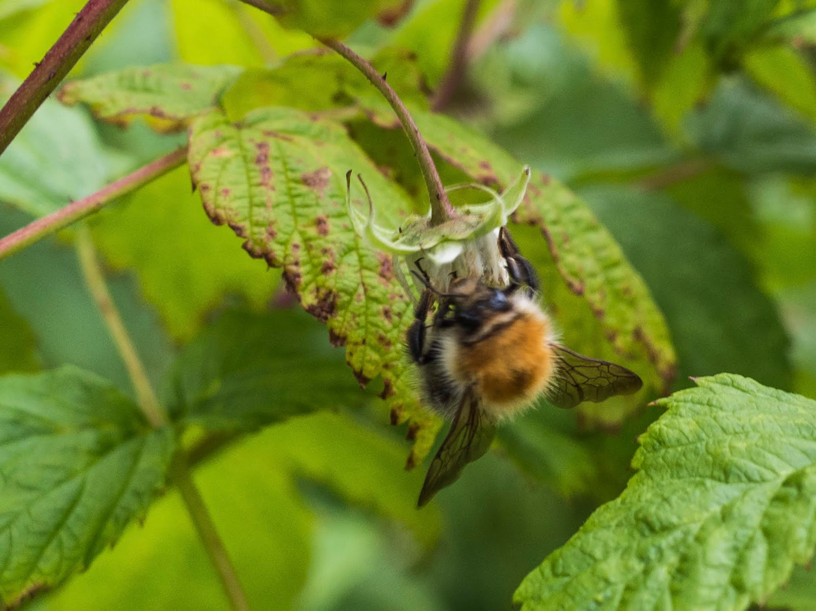 A bumble bee fertilising a raspberry.