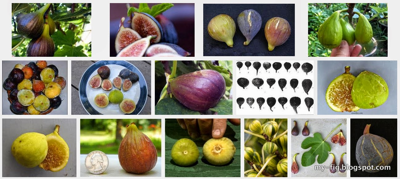 Synonym / Other Names And Origin Of Selected Fig (Ficus