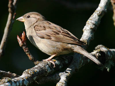 Photo of female House Sparrow on tree branches