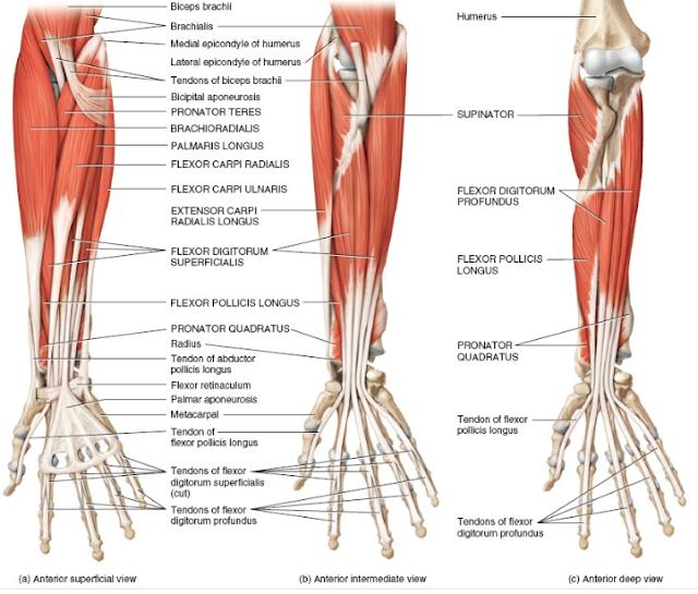 Anatomi pronator kuadratus adalah uraian dari origo, insersi, aksi, saraf, arteri dari otot ini. Otot pronator kuadratus adalah otot yang akan melakukan sebuah gerakan pada lengan atau ekstremitas atas manusia, gerakan yang dihasilkan dari otot ini ialah gerakan pronasi pada tangan manusia. Hal ini bisa terjadi dikarenakan secara anatomi otot ini memiliki perlekatan origo dan insersi pada lengan manusia.  Otot ini juga di percabangi oleh saraf dan arteri yang akan bertugas dalam mengirimkan rangsangan dari otak dan yang mengirimkan sel-sel darah yang berisikan zat-zat penting dan oksigen yang dibutuhkan oleh otot ini untuk melakukan aktifitas metabolisme.