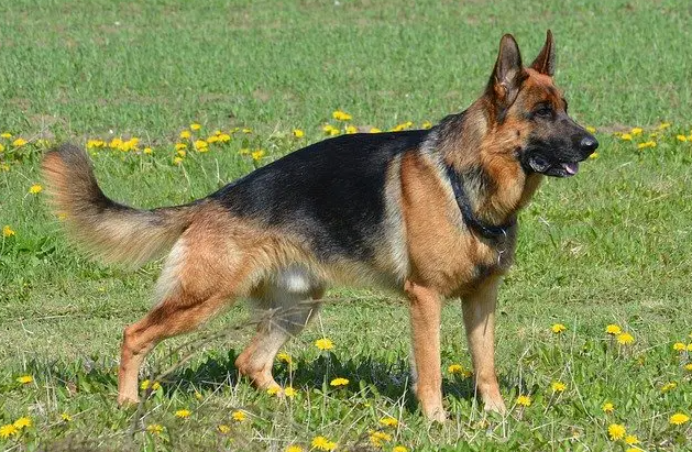 which is best dog breed for families, dog breeds for family, german shepherd pure breed