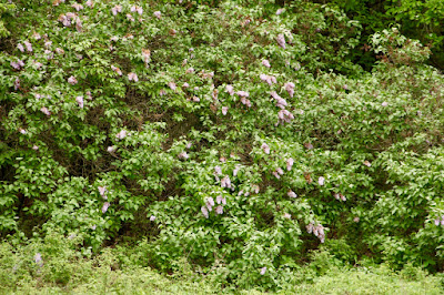 local lilacs in bloom