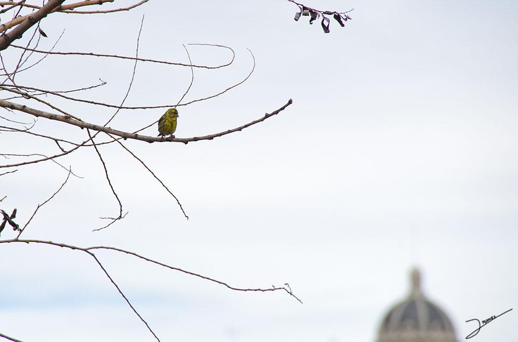Gafarrón macho cantando en la rama de un árbol