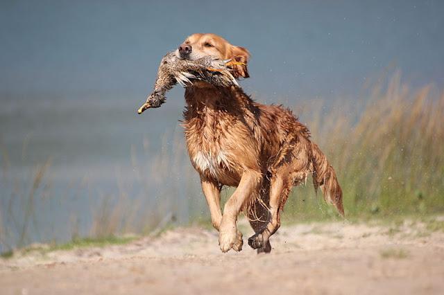 Golden Retriever dog names