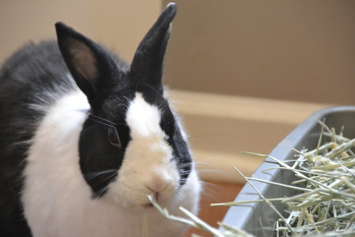 Bunny diets should consist of hay, greens, and pellets for good health
