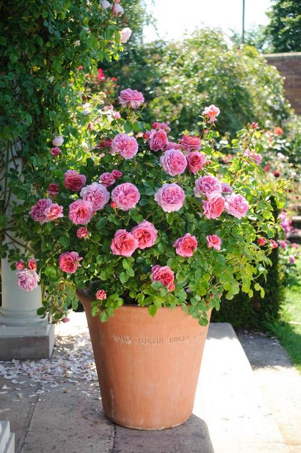 rosal ingles flores color rosa en maceta de barro