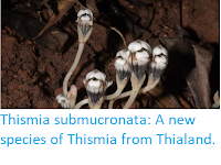 https://sciencythoughts.blogspot.com/2019/06/thismia-submucronata-new-species-of.html