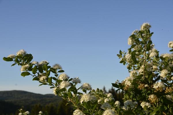 rosespirea