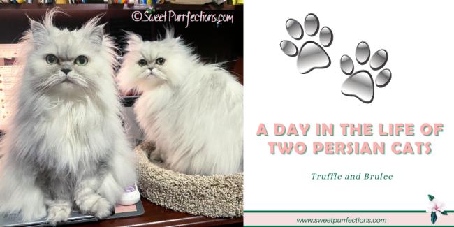 two silver shaded Persian cats facing the camera