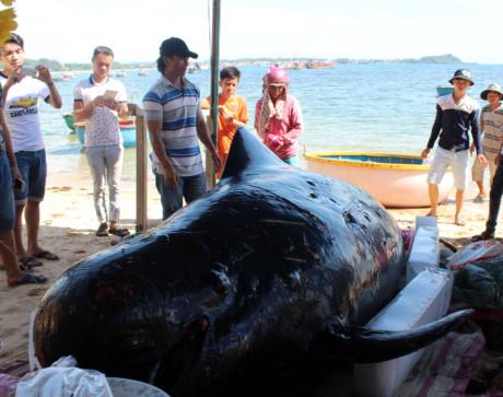 Cá Ông Chuông hơn 700 kg dạt vào bờ biển Quảng Ngãi