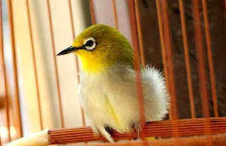 cara merawat burung,perawatan pleci mabung om kicau,mabung nyulam,mabung omkicau,